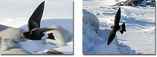 wilson's storm petrels in flight from different angles in antarctica
