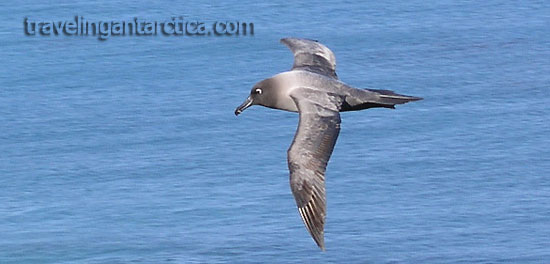 Birds of Antarctica - Light Mantled Sooty Albatross in Sub Antarctica