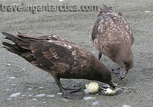 Sub Antarctica Skuas Eating Penguin Egg