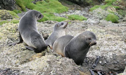 Antarctic Fur Seals in Sub Antarctica