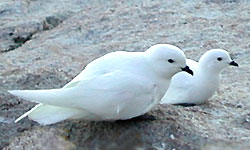 Antarctic Snow Petrel