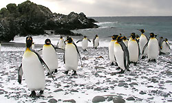 King Penguins Sub Antarctica